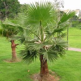 tropische taschen Rabatt Outdoor Mehrjährige Pflanzenpalme Samen, tropische Zierbaum Samen 20 Partikel / Beutel