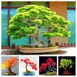 2019 bonsai giapponese d'acero 5 tipi di semi di albero bonsai semi di acero rare piante pot vestito per giardino domestico di diy acero giapponese semi 20 pz / pacchetto sconti bonsai giapponese d'acero