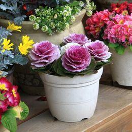 giardino ornamentale Sconti 1 confezione originale 30 semi Kales, semi di piante ornamentali da giardino
