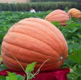 10 Adet dev kabak tohumları cadılar bayramı kabak organik tohumları Sebze Besin açısından zengin gıda OLMAYAN GDO Yenilebilir bitkiler ev bahçe için cheap pumpkin seeds nereden kabak çekirdeği tedarikçiler