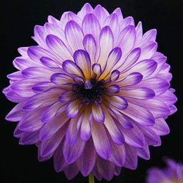 Wholesale Rare Beautiful Flowers - Cheapest 100 Pieces Rare Beautiful Purple Dahlia Seeds Beautiful Perennial Flowers Seeds Dahlia Bonsai Perennial Plant Free Shipping