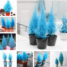 Wholesale Outdoor Potted Flowers - 20 Pcs Italian Blue Cypress Tree Seed Indoor Outdoor Desk Ornamental Plants, Rare Christmas Tree Perennial Flower Pots Planters