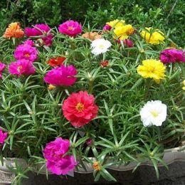 1 confezione originale 200 semi pianta da sole, casa giardino muschio rosa portulaca grandiflora semi di fiori da rose gialle semi fornitori