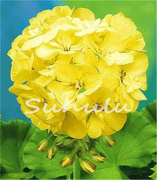 Wholesale Plant Edging - Big Promotion! 50 Pcs Rare Yellow Edge Geranium Seed,Perennial Flower Seeds Pelargonium Peltatum Flowers Bonsai Plant for Garden