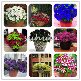 Wholesale Petunia Seeds - Big Promotion! 100 Pcs Bag Rare Color Star Petunia Seeds Mix Color Garden And Patio Potted Plant Morning Glory Flowers Seeds Garden Plants