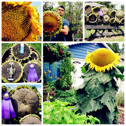 Wholesale Grow Big - Big Promotion! 100 pcs giant sunflower seeds giant big flower seeds black sunflower russian sunflower seeds for home garden Easy to Grow