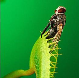 Vaso delle piante trasporto libero online-30 pz / pacco semi di piante insettivore in vaso dionaea muscipula gigante clip venere acchiappamosche semi pianta carnivora spedizione gratuita