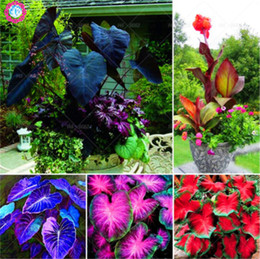 Wholesale Outdoor Pot Plants - 5 pcs Colorful Canna Seeds Black Flower Seed Perennial Indoor Or Outdoor Plants Potted Large Leaf Flowering Bonsai Plant For Home Garden