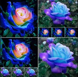 blue seed Promo Codes - New Rare Blue Pink Roses Flower Seeds Yard Garden Bonsai Decoration Beautiful Exotic Balcony Potted Roses Garden Plant 100 Seeds Per Package