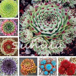 Wholesale Wholesale Mini Cacti - 100 Pcs Amazing Sempervivum Plants Mixed Mini Garden Succulents Cactus Seeds Perennial -House Leeks Live Forever Easy To Grow