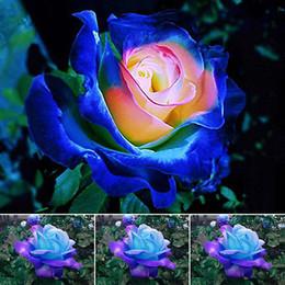 Rosen gärten online-Seltene Blau Rosa Rosen Blumensamen Hofgarten Bonsai Dekoration Schöne Exotische Balkon Topfrosen Gartenpflanze 100 Samen Pro Paket