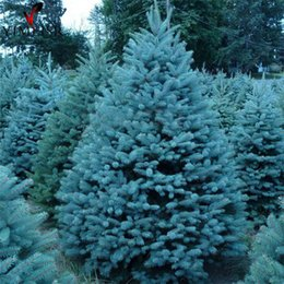 Vero Colorado Blue Spruce Tree Seeds Picea pungens Semi di albero bonsai Rare semi di piante all'aperto albero di natale 20 pezzi semi / borsa cheap blue bonsai tree da albero di bonsai blu fornitori