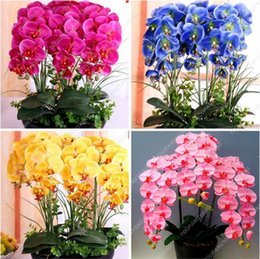 2019 vendas de sementes de flores Venda quente! 9 Variedades Phalaenopsis Sementes Plantas Perenes De Flores Em Vasos Encantador orquídea Flores Sementes, 20 pçs / saco, # 44LI74 vendas de sementes de flores barato