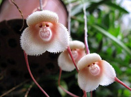 Semi di fauna di scimmia online-30 pz 8 tipi Carino Monkey Face Semi di Orchidea Scimmia Orchidea Bonsai piante Fiori Semi per giardino di casa Spedizione Gratuita