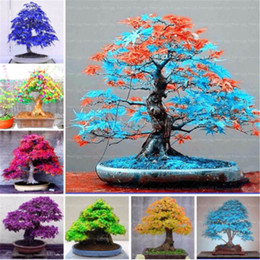 Wholesale Ornamental Trees - Japanese rare maple seeds 30 pcs bag mixed toronto maple leafs tree seeds Perennial ornamental plants fire maple bonsai tree garden plants