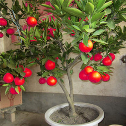 Wholesale 50 Pz Semi di Limone Rosso Nuovo Arrivo Drawf Albero Bonsai Semi di Frutta Biologica per la Casa Giardino Forniture Facile Coltivare Semi Esotici In Vaso