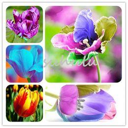 Vasi di tulipano online-20 PZ Semi di tulipano, Tulipnernerneriana, aromatico Semi di fiori in vaso Più belle piante colorate Tulipano Giardino perenne