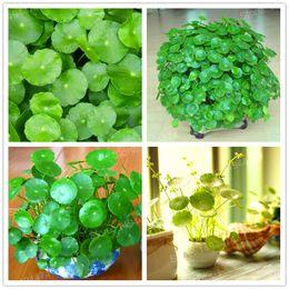 Wholesale Grass Pots - Potted 50 seeds Hydroponics Flower Aquarium Plants Penny Grass Seeds Best Indoor Bonsai Plant Hydrocotyle Vulgaris Seeds