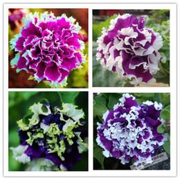 I semi più poco costosi del fiore dei pluguglies della cascata dei petali della petunia del fiore americano panamericano - 200 pezzi di trasporto libero da semi di petunias fornitori