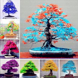 Wholesale Plant Pots Diy - 50 pcs packing Japanese Rainbow Maple Seeds Rare Color and Beautiful Plants tree Seed for Garden Decoration Bonsai Diy plant pot