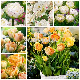 Wholesale Aroma Decoration - 50 Pcs Tulip Seeds, Aroma Tulip Plants,Rare Ice Cream,Flower Pot Planters, Diy For Home And Garden,Bonsai Plants For Garden Decoration