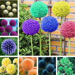 Wholesale Rare Beautiful Flowers - Free Shipping 100 Pcs Rare Color Giant Allium Giganteum Beautiful Flower Seeds Garden Plant The Budding Rate 95% Rare Flower For Kid