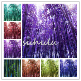 Sementes de árvores de bambu on-line-Sementes De Bambu Raro Phyllostachys Aureosulcata Plantas Casa Jardim Bonsai Árvore usada para a construção de casas Jardin Semillas 50 pçs / saco