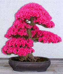 albero fiore fiore ciliegio sakura Sconti Rare Sakura Semi Bonsai Fiore Cherry Blossoms Albero Cherry Blossom Semi Bonsai Piante Per La Casa Giardino Semi 10 Pz