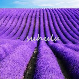 vanilla seeds Lavandula Angustifolia 10 pcs French Lavender