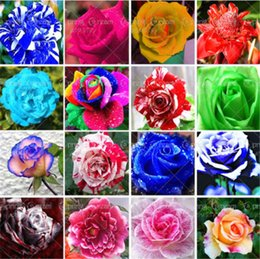 Wholesale rainbow rose flower - 300 PCS Holland Rose Seeds Lover Gift Orange Green Rainbow RARE Flower Seeds 10 Color To Choose DIY Home Gardening Flower So Beautiful