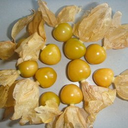 Wholesale Winter Seeds - Easily Identifiable Physalis Alkekengi Seeds, Chinese Lantern Fruit Seeds, Herbaceous Perennial Plant Winter Cherry Seeds 100 particles bag
