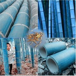 Sementes de árvores de bambu on-line-20 pçs / saco raras sementes de bambu azul, jardim decorativo, plantador de ervas bambu sementes de árvores para casa diy Pequeno jardim enviar presente