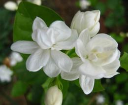 giardino di gelsomino Sconti 5 pz / borsa Bianco Semi di Gelsomino Semi di Fiori di Gelsomino Pianta Profumata Semi di Gelsomino Arabo Bonsai Piante in vaso per la Casa Giardino