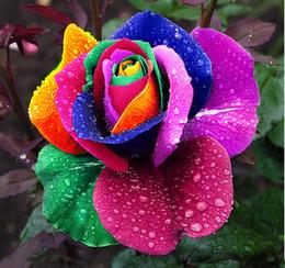 rosa rara olandese Sconti Trasporto libero 50 semi rare Olanda arcobaleno fiore rosa amante piante multicolore casa giardino rare semi di fiori arcobaleno rosa