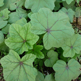 2019 semillas enanas Semillas de vegetales comestibles de malva china, resistencia al calor, semillas de hierbas de buen gusto 100 partículas / bolsa