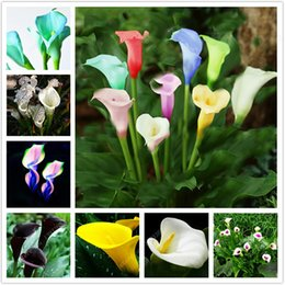 Wholesale Bulb Pc - 100 pcs Rare Calla Lily Seeds Potted Balcony Plant Calla Bulbs Bonsai Air Purification Radiation Not Calla Lily Bulb)