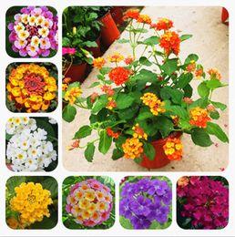 Belle piante per giardino online-100 Pz Lantana Camara Semi Rari Perenne Splendida Bella Fiore Pianta Bonsai Per Piante Da Giardino Domestico