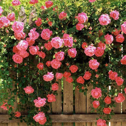 Wholesale Red Flower Chinese - Cheap Climbing Chinese Rose Flower Seeds 200 Per Package Pink Red Color Balcony Potted Flowers Garden Plants