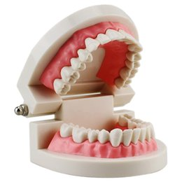 Argentina Niños Enseñanza dental Suministros de estudio Estándar para adultos Modelo de dientes de demostración Modelo de Dientes Suministro