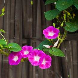 Wholesale Climbing Flower Seeds - Garden plants morning glory flower seeds, Climbing flower 100 particles bag