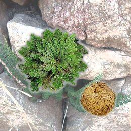 casa fisica degli uccelli che fischia Sconti New Hot Practical Live Resurrection Plant Rose di Jericho Dinosaur Plant Air Fern Spike Moss # 61285