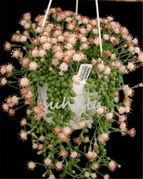 Wholesale Beautiful Emerald - 100Pcs Dichondra Repens Silver Falls Emerald Falls Succulent Seeds In Hanging Baskets Very Creative Beautiful Potted Plants Shape Like Pearl