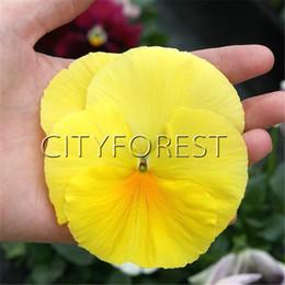 flores para fronteiras Desconto Gigante Pure Yellow Pansy F1 100 Sementes Hardy Fácil de Crescer Grande para DIY Início Jardim Bonsai Recipiente Paisagem Cama Borders Flor Impressionante