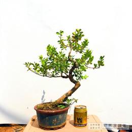 belle perenni Sconti Semi di bosso cinese Perenne bella migliorare l'ambiente Semi di albero 100 particelle / sacchetto