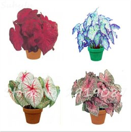 bonsai di acero rosso giapponese Sconti 50 Pz Caladium Calda Semi di Fiore Perenne Giardino Semi In Vaso Thailandia Caladium Giardino Domestico di DIY Semi di Piante Bonsai