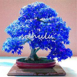 Fiori di albero di acero online-20 pezzi blu semi di acero cinese rare blu bonsai foglia d'acero albero bonsai piante per flower pot fioriere semillas de arboles aria fresca