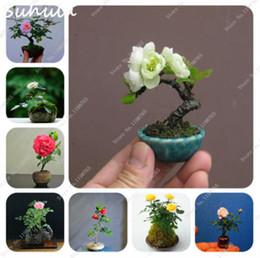 пампас трава Скидка Мини Роза бонсай миниатюрная роза семян немного милые красивые растения для дома сад растений в горшках детские подарок семена цветов так редко
