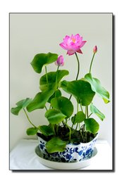 Wholesale Aquatic Seeds - Flower Seeds Bowl Lotus Flower Hydroponic Aquatic Plants Lotus Seeds Perennial Water Lily Plant for Mini Garden 5pcs PACKS