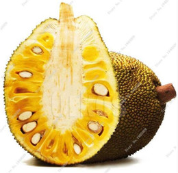 Semi di frutta rare online-New Fresh Seeds Tropical Rare Seed Fruit Trees Jackfruit Seeds Pot Large New Garden Plants Flowering Plants 10 pcs Free Shipping