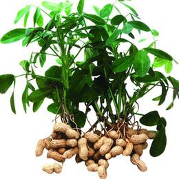 Semi di castagno organico online-semi di arachidi rossi, Cina semi di ortaggi biologici buon gusto Heirloom vegetale 10 particelle / sacchetto